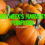 this weeks harvest pumpkins