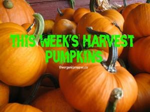 this weeks harvest pumpkins