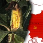 china-GM-corn
