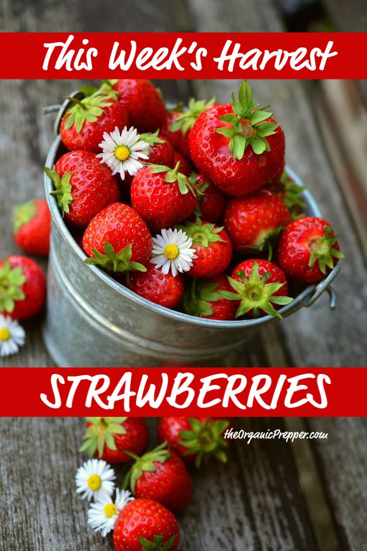 This Week\'s Harvest: Strawberries
