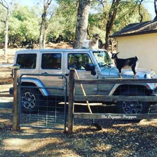 Goats on a Jeep