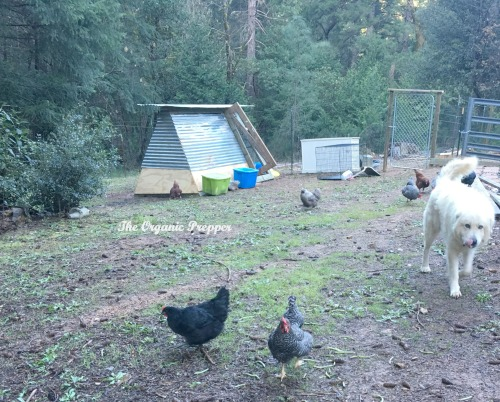 Thor and the chickens