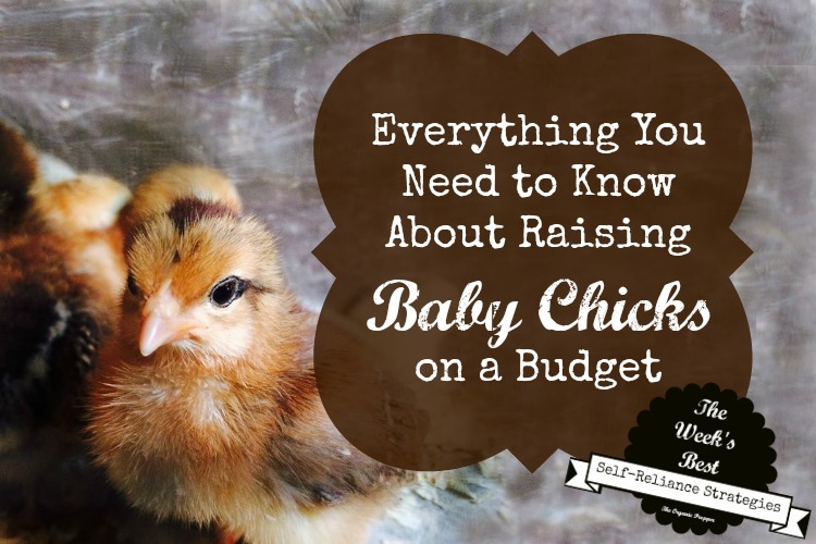 Raising baby chicks on a budget the organic prepper for Things you need for a house