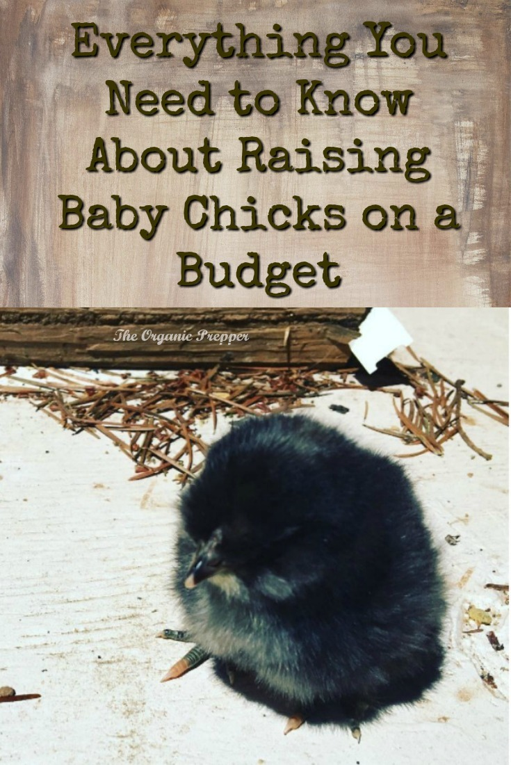 Want fresh eggs every day? Here's everything you need to know about getting started with raising baby chicks, even if you're on a budget.  | The Organic Prepper