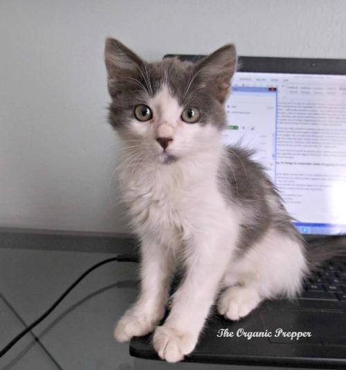 Syllie kitten on the laptop
